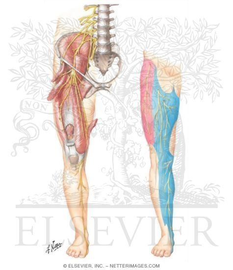 Femoral Nerve and Lateral Femoral Cutaneous Nerves | Anatomy of a ...