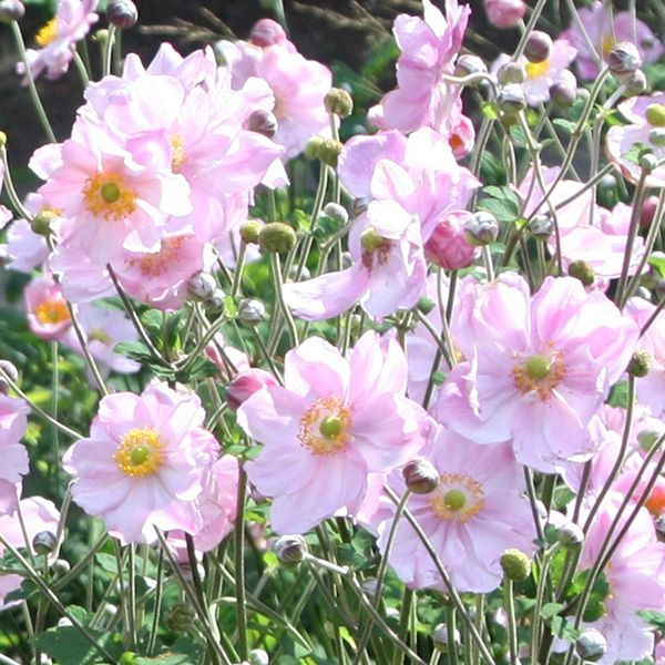 Buy Japanese anemone  ( syn. Queen Charlotte ) Anemone × hybrida 'Königin Charlotte': Delivery by Waitrose Garden in association with Crocus #autumncolours
