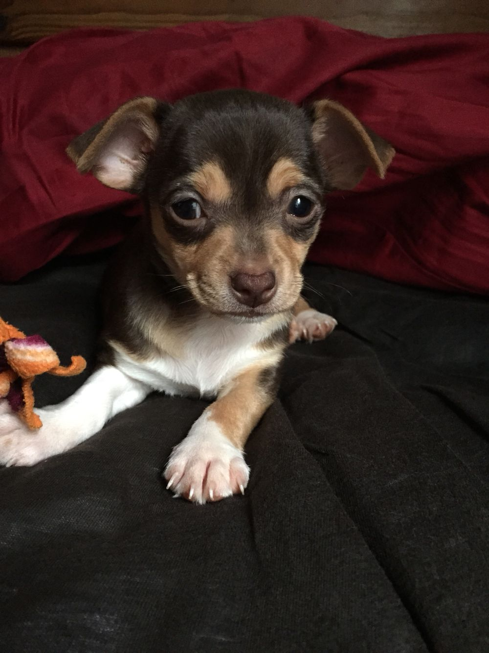 7 Week Old Porter The Cutest Puppy Chihuahua Chihuahua