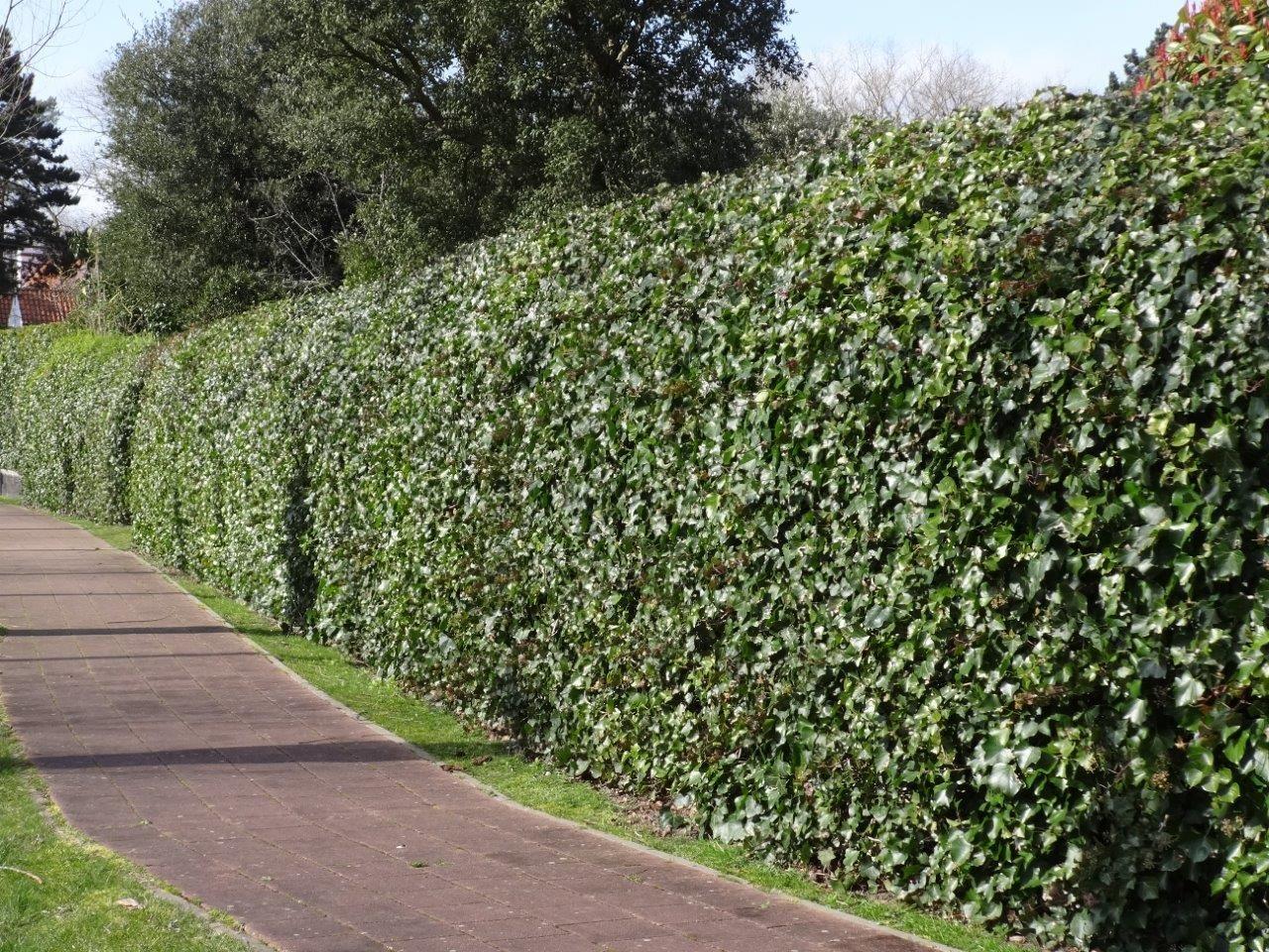 Efeu Berankt Einen Zaun Komplett Super Rankpflanze Um