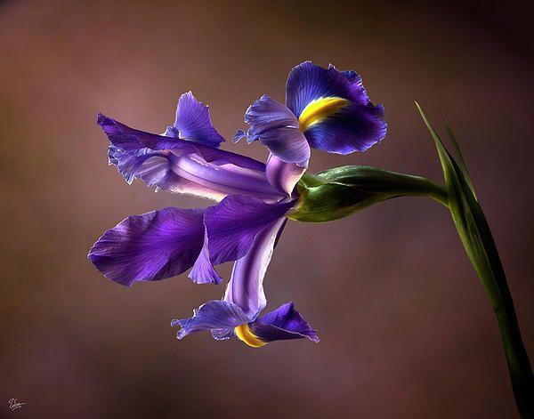 Purple Iris Purple Iris Purple Garden Iris