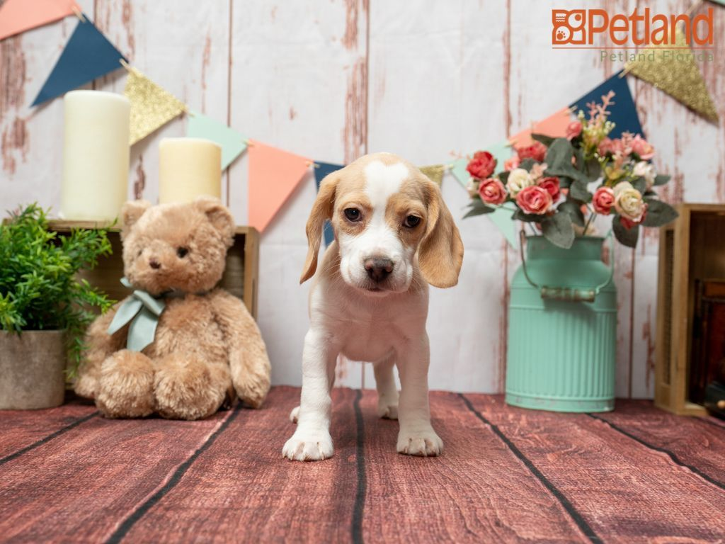 Puppies For Sale Beagle Puppy Puppies For Sale Puppies