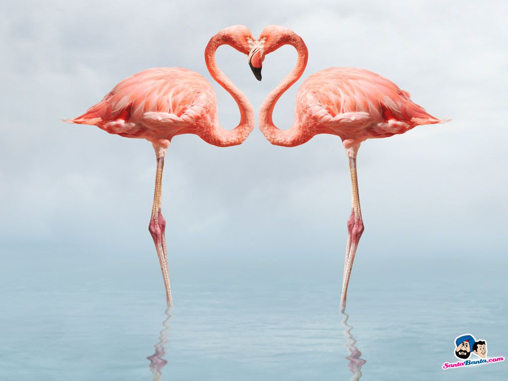 Flamingos Birds Wallpaper | Couples | Pinterest | Flamingo ...