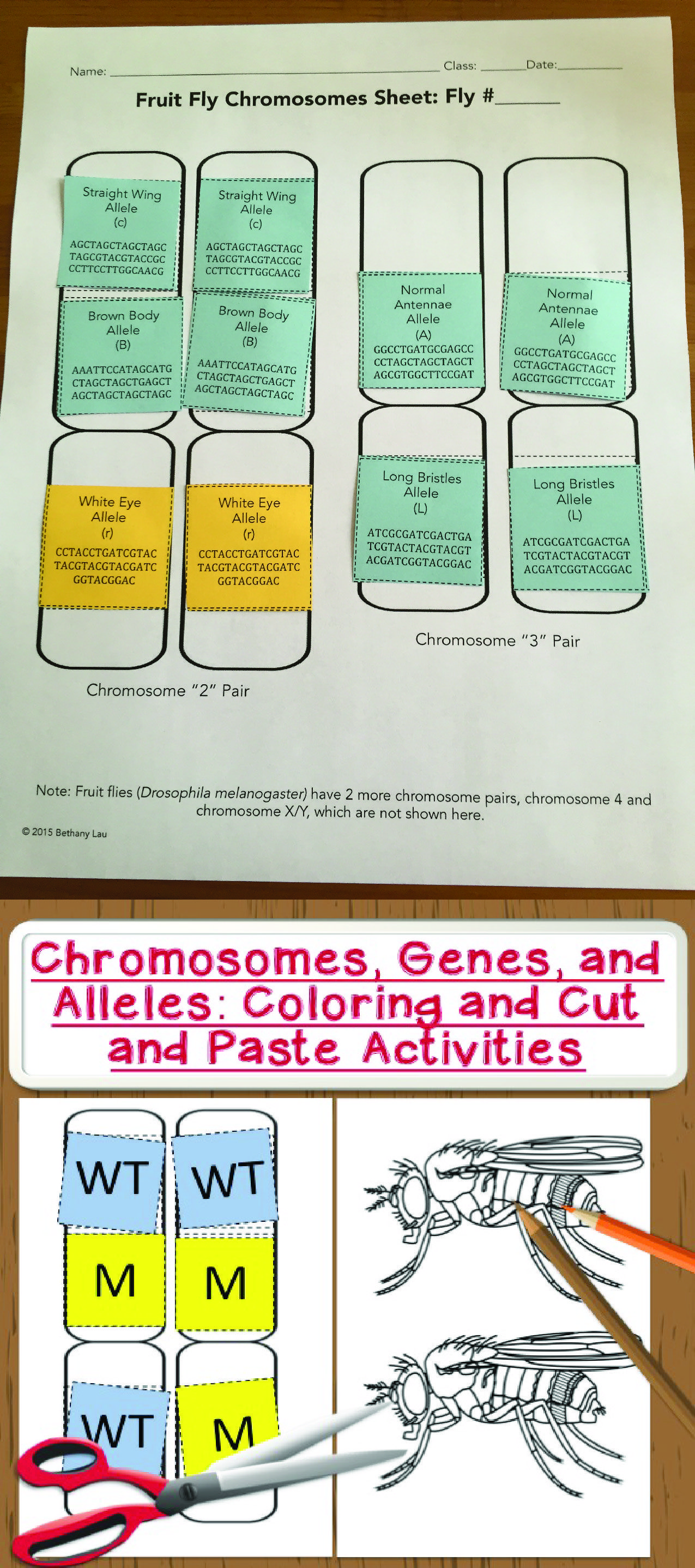Chromosomes Genes And Alleles Cut And Paste Coloring