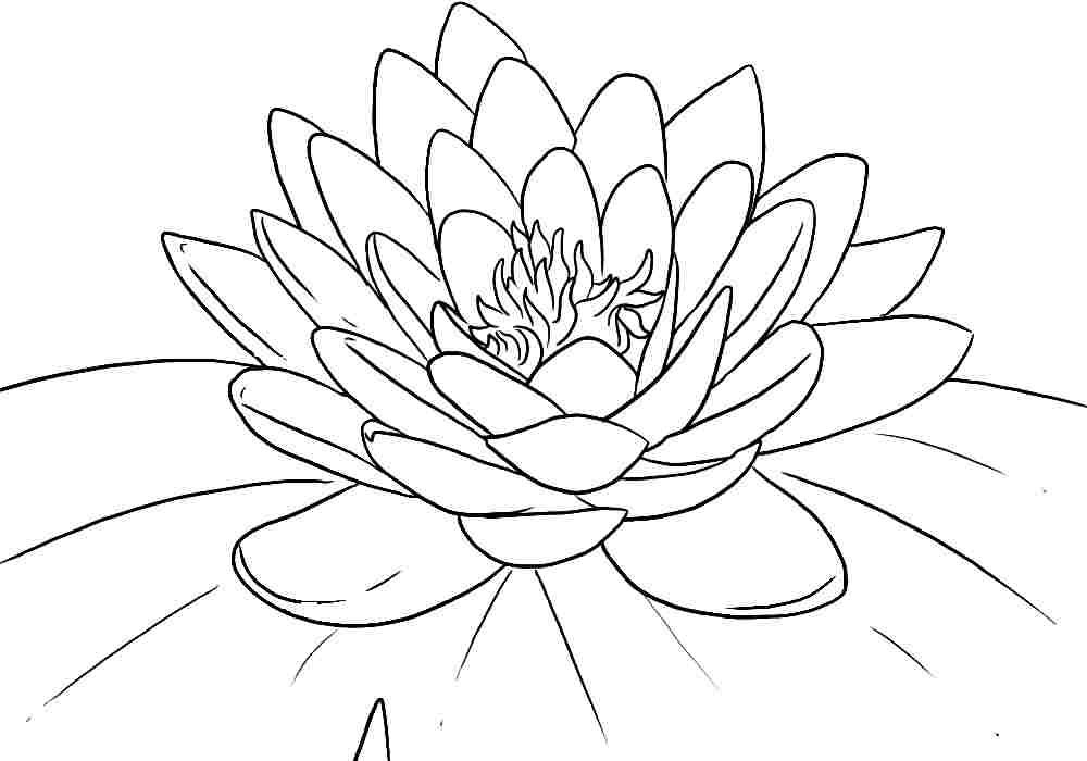 outline pictures flowers coloring pages for kids | Free Printable Lotus Coloring Pages For Kids | Lotus flower colors, Lilies drawing, Flower ...