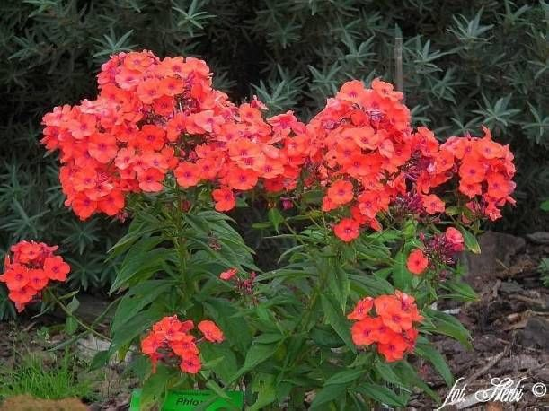Floks Wiechowaty Orange Perfection Phlox Paniculata Albamar