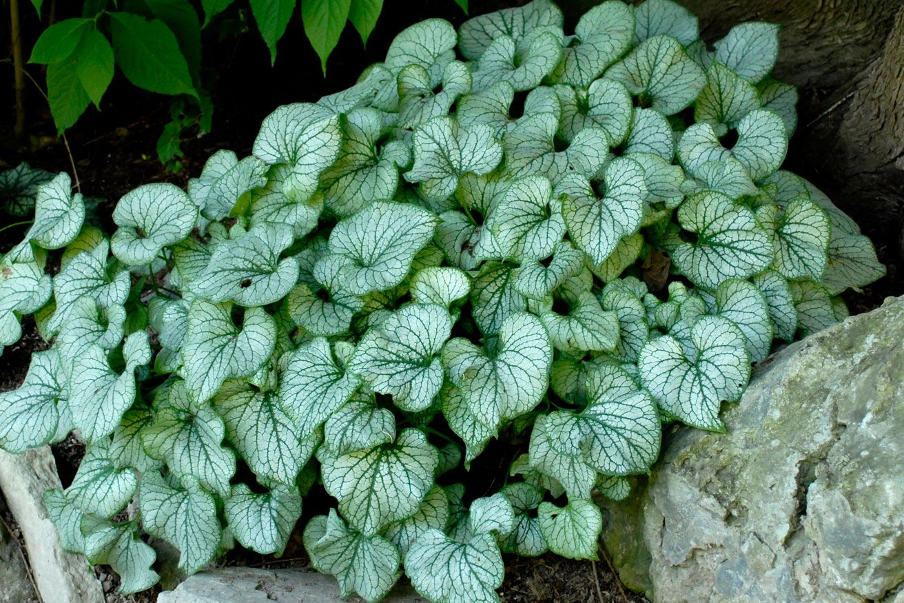 2012 perennial of the year brunnera macrophylla jack frost love brunnera macrophylla jack frost excellent shade perennial good with hostas and ferns and in pots has small blue flowers in spring mightylinksfo Gallery