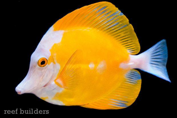 Wayne S Ocean World Scores A Sweet White Face Yellow Tang In 2020 Beautiful Sea Creatures Tang Fish Saltwater Aquarium