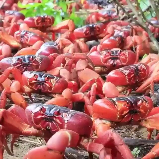 tap image for travel information the annual red crab migration on christmas island includes an