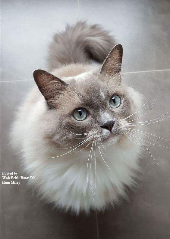 Pin By Ashleigh Calloway On Kittens All Cat Breeds Pretty Cats Cute Cats