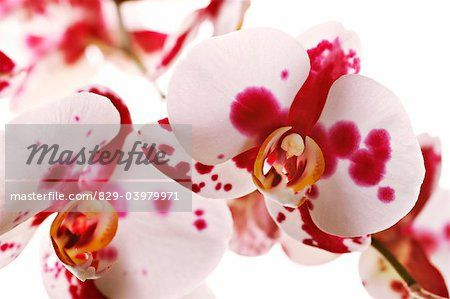 829-03979971em-Phalaenopsis---variety-not-identified--Orchid---Moth-orchid--Mixed-col.jpg (450×299)
