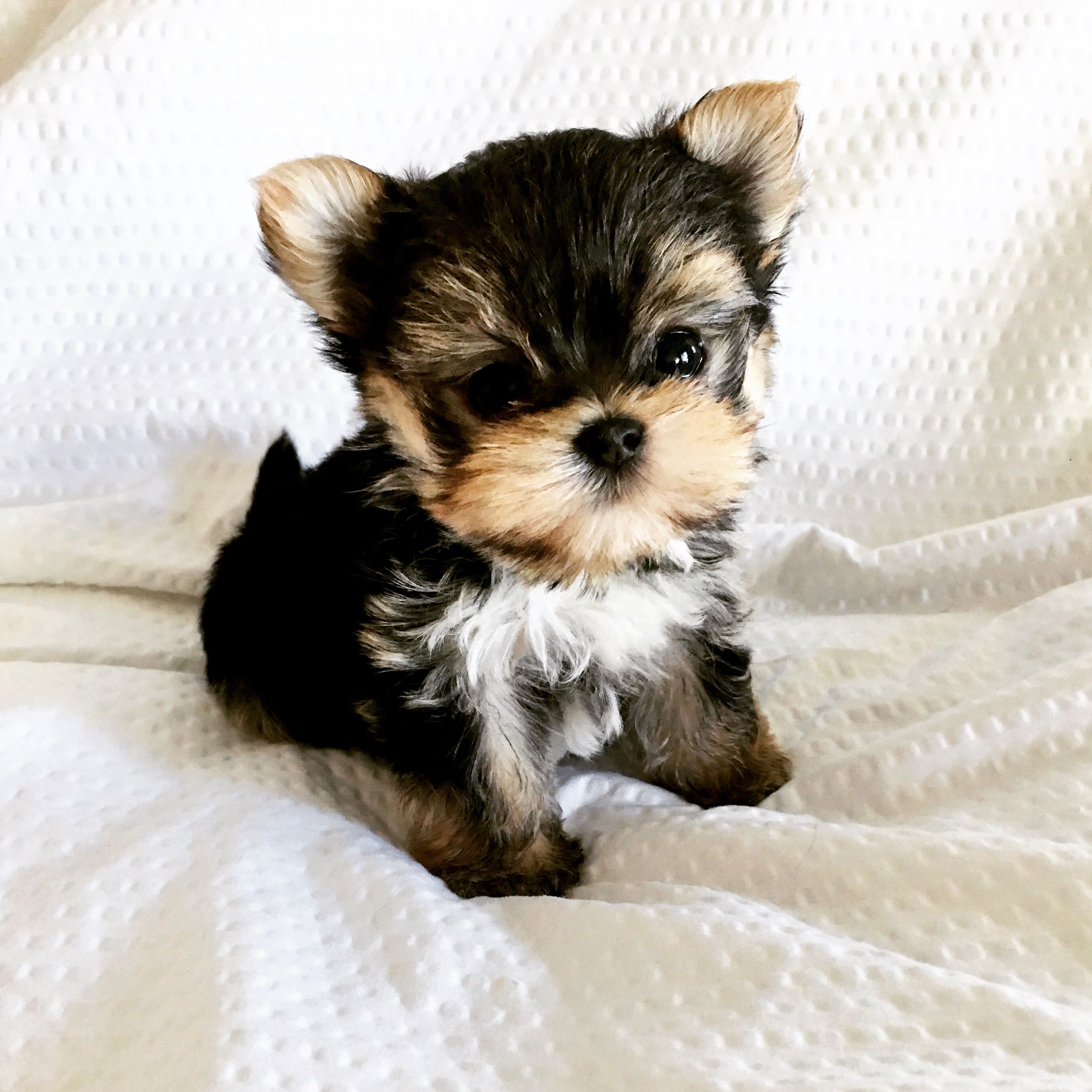 Image result for tiny micro morkies for sale Yorkie