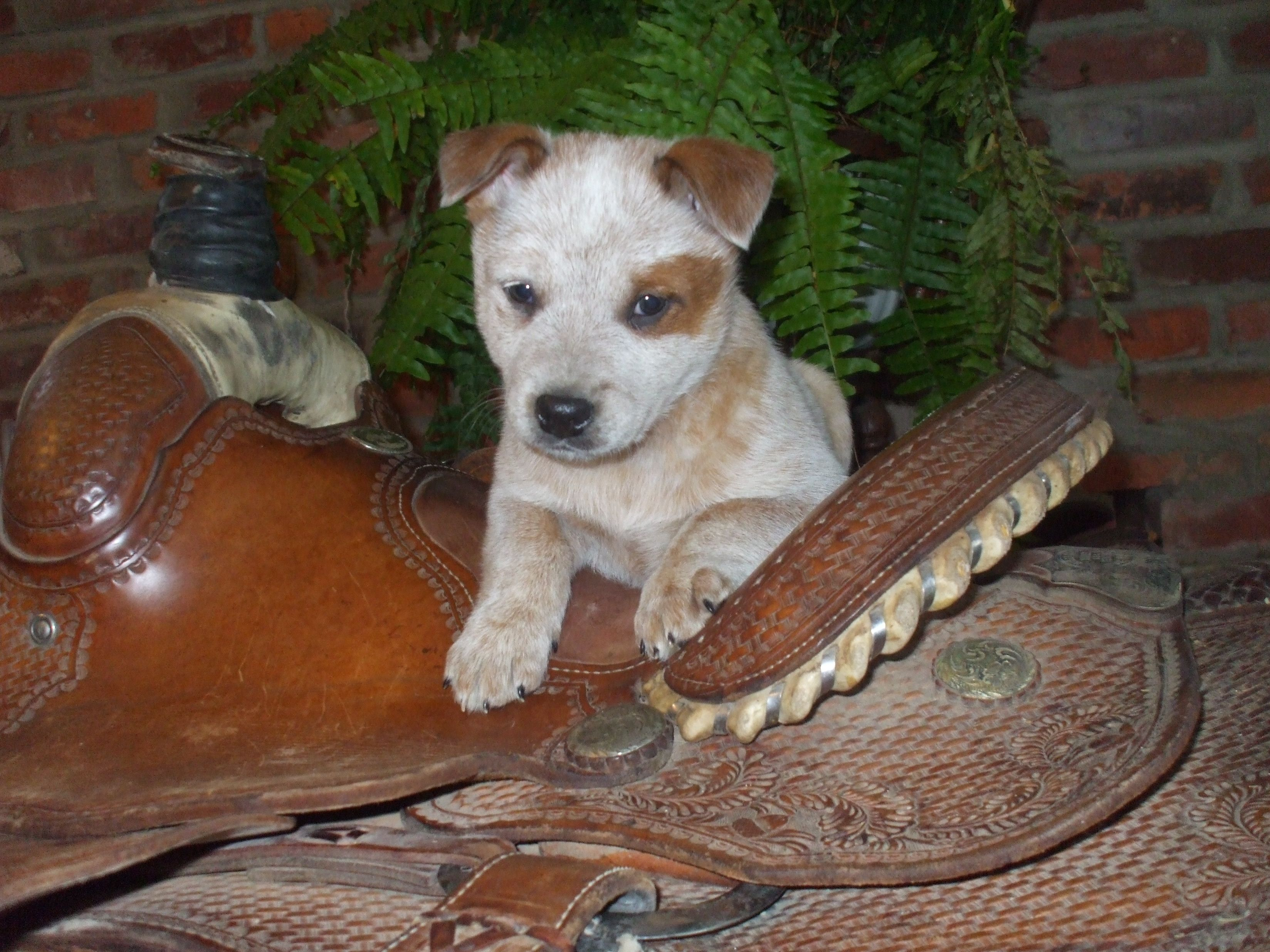 Red Heeler Puppy Looking For Forever Home 3 31 14 Cattle Dogs Rule Blue Heeler Puppies Red Heeler Cattle Dogs Rule Red Heeler Puppies Cattle Dog