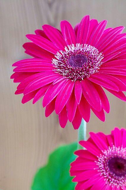Imagem Descoberto Por Maria Jose Descubra E Salve Suas Proprias Imagens E Videos No We Heart It Pink Flower Painting Clematis Flower Gerbera Flower