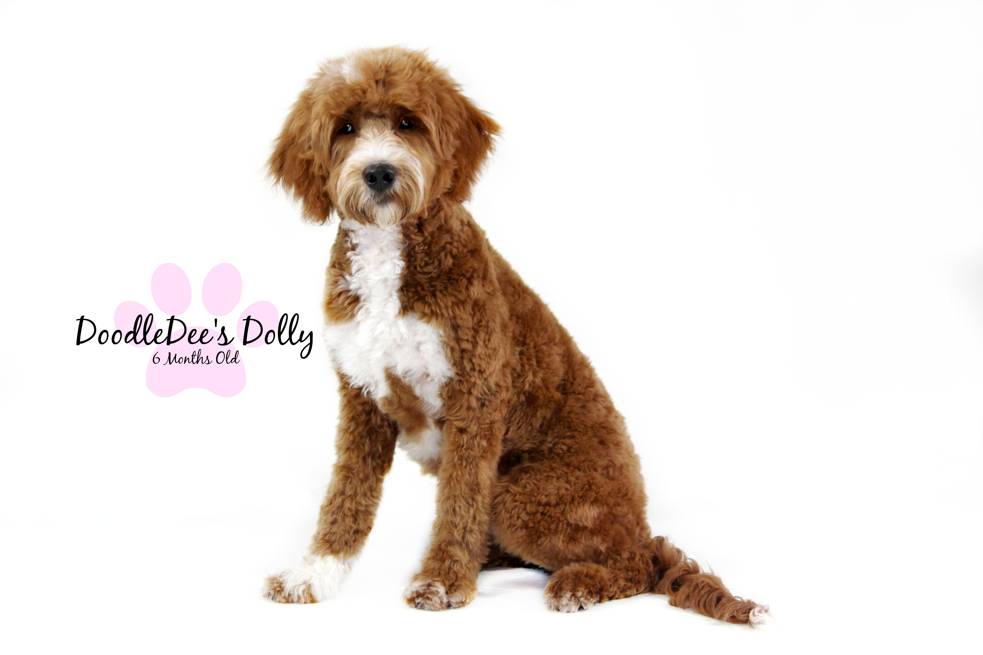 Dolly Is A Red Tuxedo Medium English Teddy Bear Goldendoodle