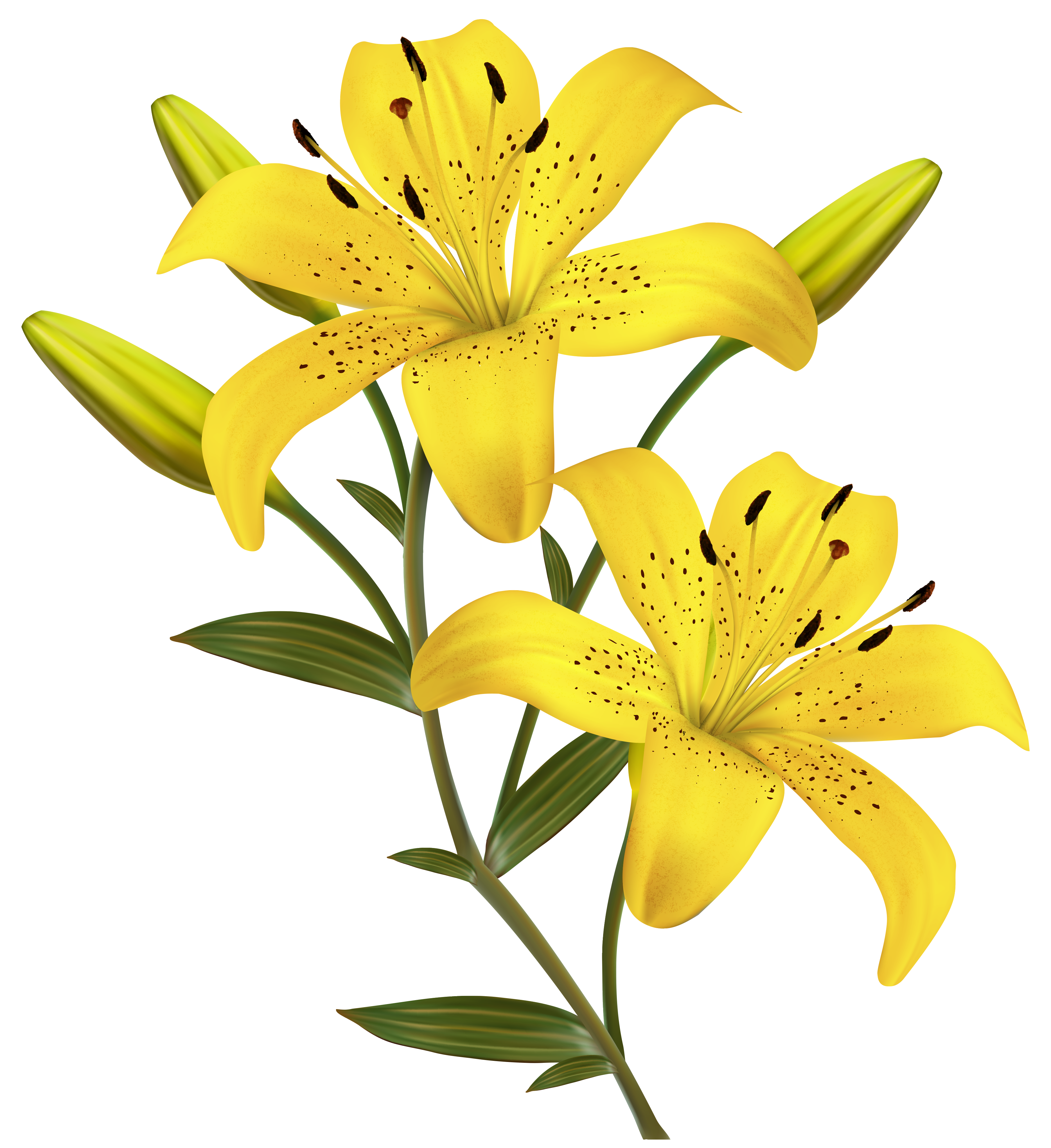 Yellow lilies clip art 3738x4083 Flower painting, Lilies