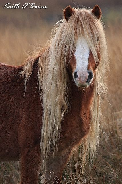 Pretty fuzzy horse, reddish brown with long wavy blonde ...