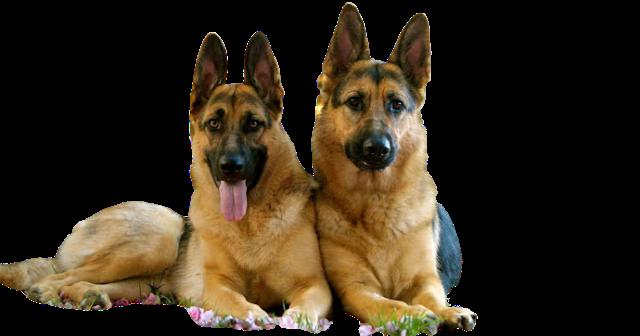 German Shepherd Dog Dog Breeds Shepherd Dog Breeds German Shepherd Dogs
