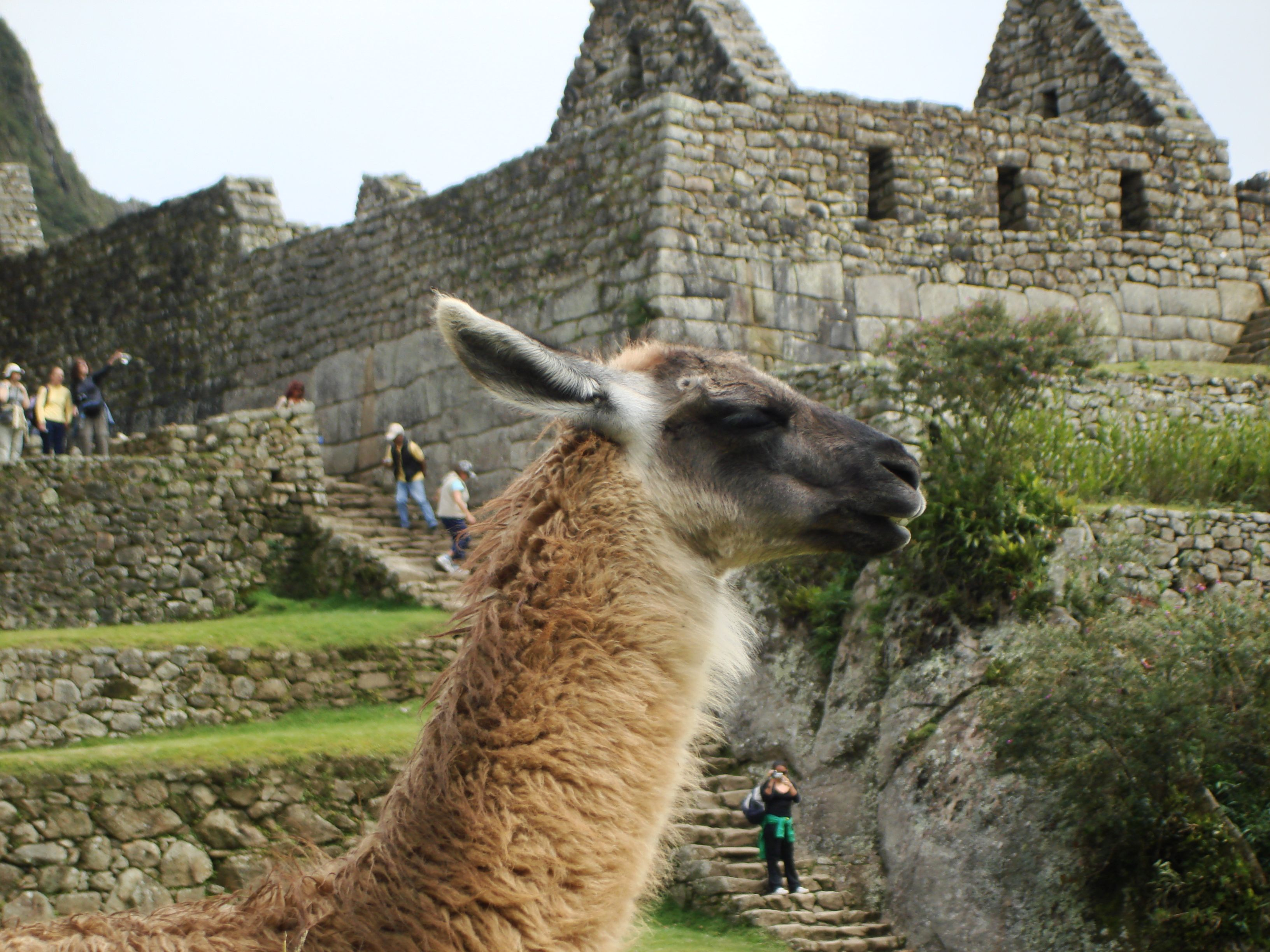 Lama at Machu Picchu