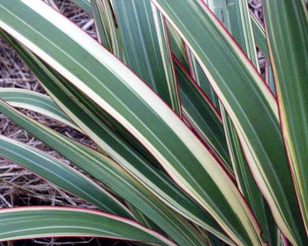 Flax Variegated Australia New Zealand Foliages Greens Foliages And Branches Flowers By Category Flax Plant Plant Images Plants
