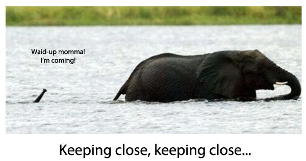 Baby Elephant Following Mom In Deep Water Funny Photo Funny