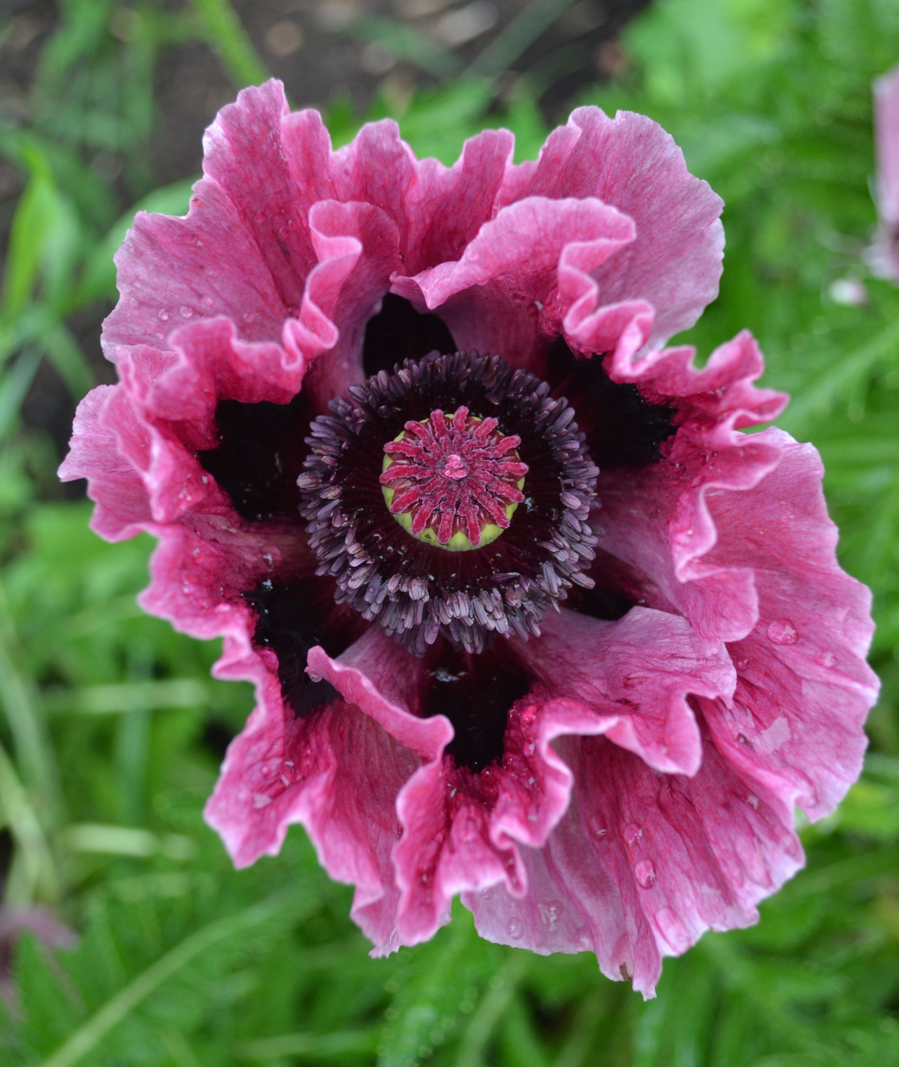 Oriental Poppy Papaver Orientales Tiffany Poppy Poppy
