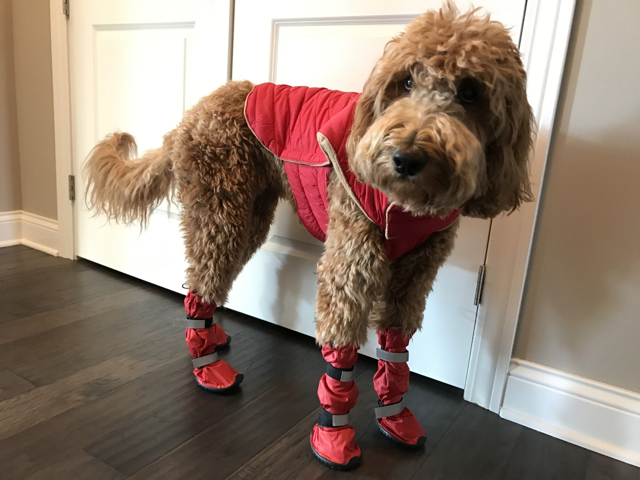 Pin On Dogs Wearing Boots Shoes