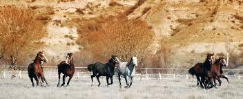koşan atlar - Google'da Ara