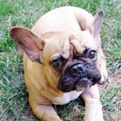 Pug French Bulldog Frugg Puppies And Kitties Pug Mixed Breeds