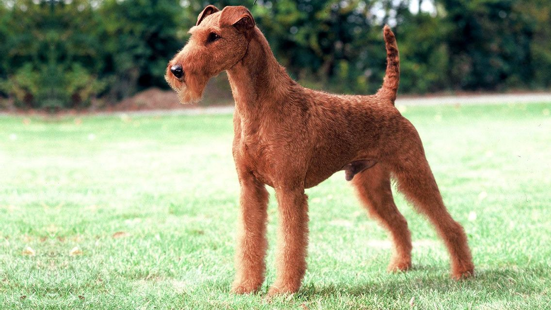 Irish Terrier personality Bold, dashing, even reckless