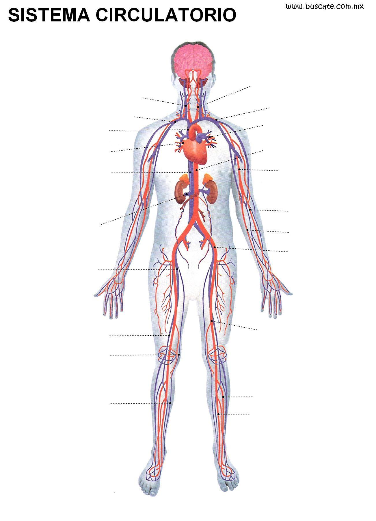 Perfecto Diagrama De Marcado Del Sistema Circulatorio Friso ...