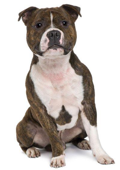 Staffordshire Bull Terrier Staffy Dog Bull Terrier Dog English Staffordshire Bull Terrier