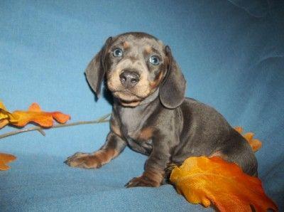Blue Tan Ms My Miniature Dachshund Puppies Dachshund Puppies