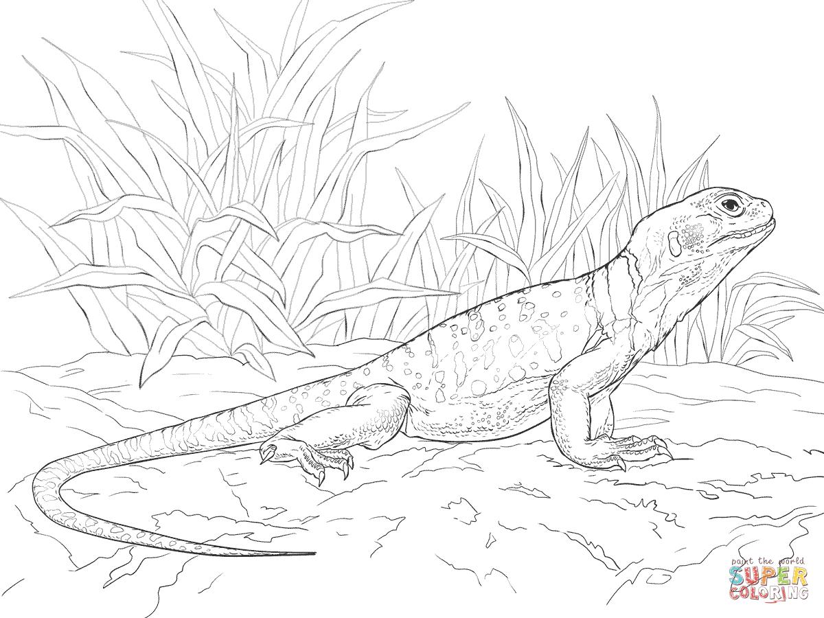 Common Collared Lizard coloring page SuperColoringcom