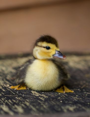 Backyard Poultry Magazine | Gardens | Muscovy duck, Chickens