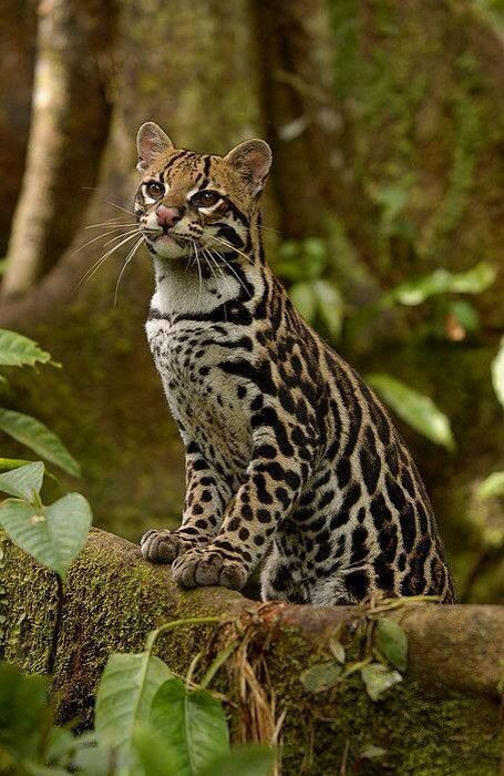 Ocelote With Images Animals Small Wild Cats Wild Cats