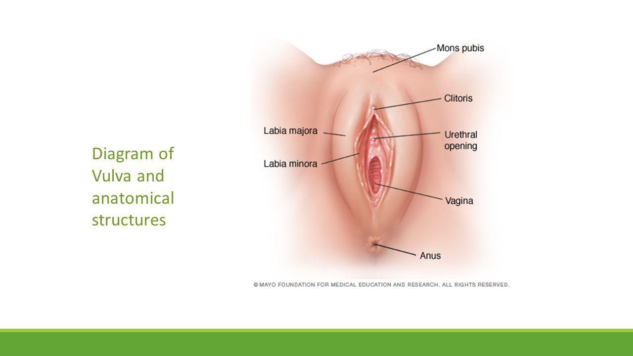 Image Result For Vulva Diagram Parenting Pinterest Parenting