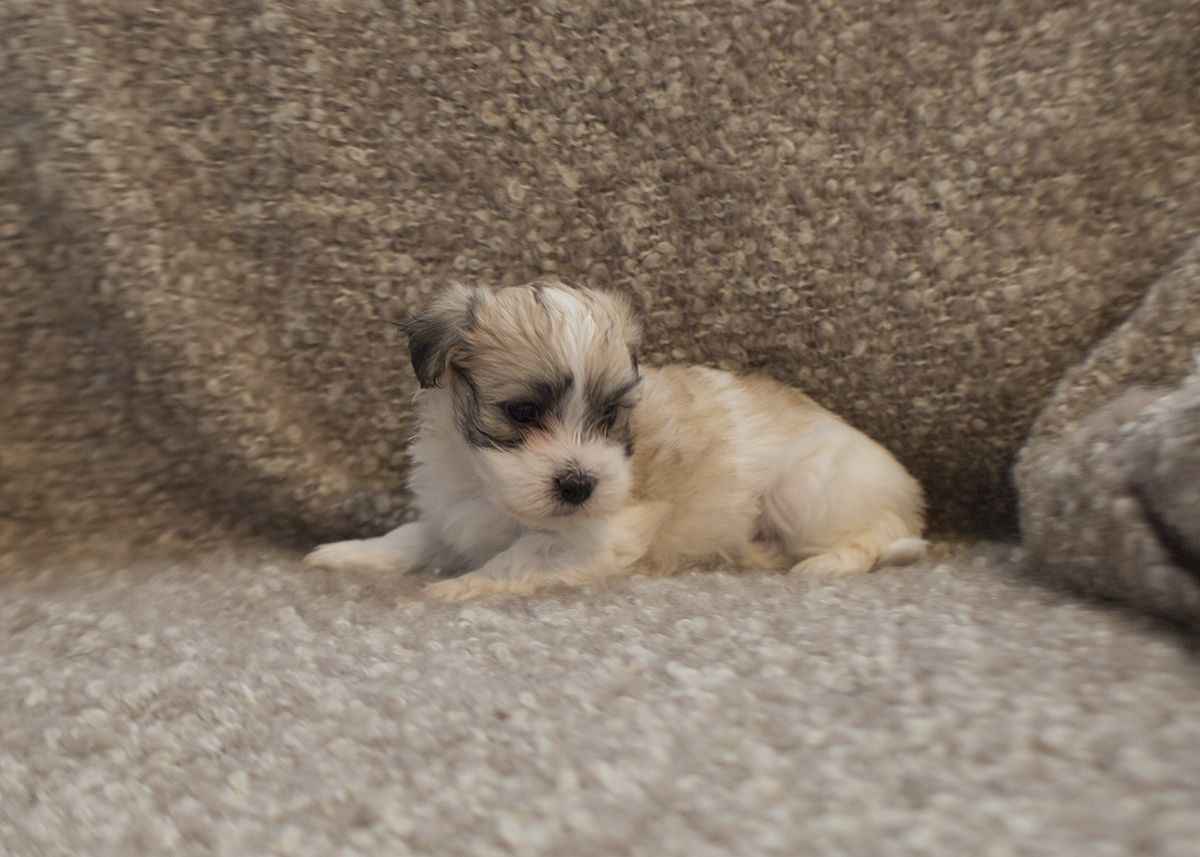 Avery A Tri Color Male Coton De Tulear Puppy Is Currently