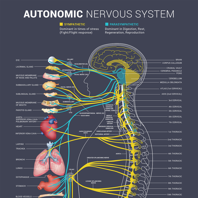Bring Our Autonomic Nervous System To Life Poster Contest Autonomic Nervous System Nervous System Anatomy Nervous System