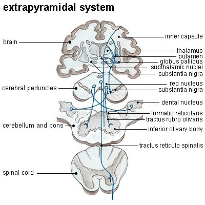 pyramidal vs extrapyramidal extrapyramidal system in anatomy the