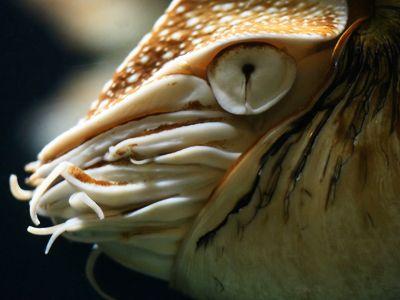 Mollusk Facts: Habitat, Behavior, Diet   Nautilus ...