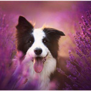 Border Collie Dog Wallpaper Border Collie Dog Wallpaper 1080p Border Collie Dog Wallpaper Desktop Border Co Beautiful Dogs Photos Beautiful Dogs Dog Photos