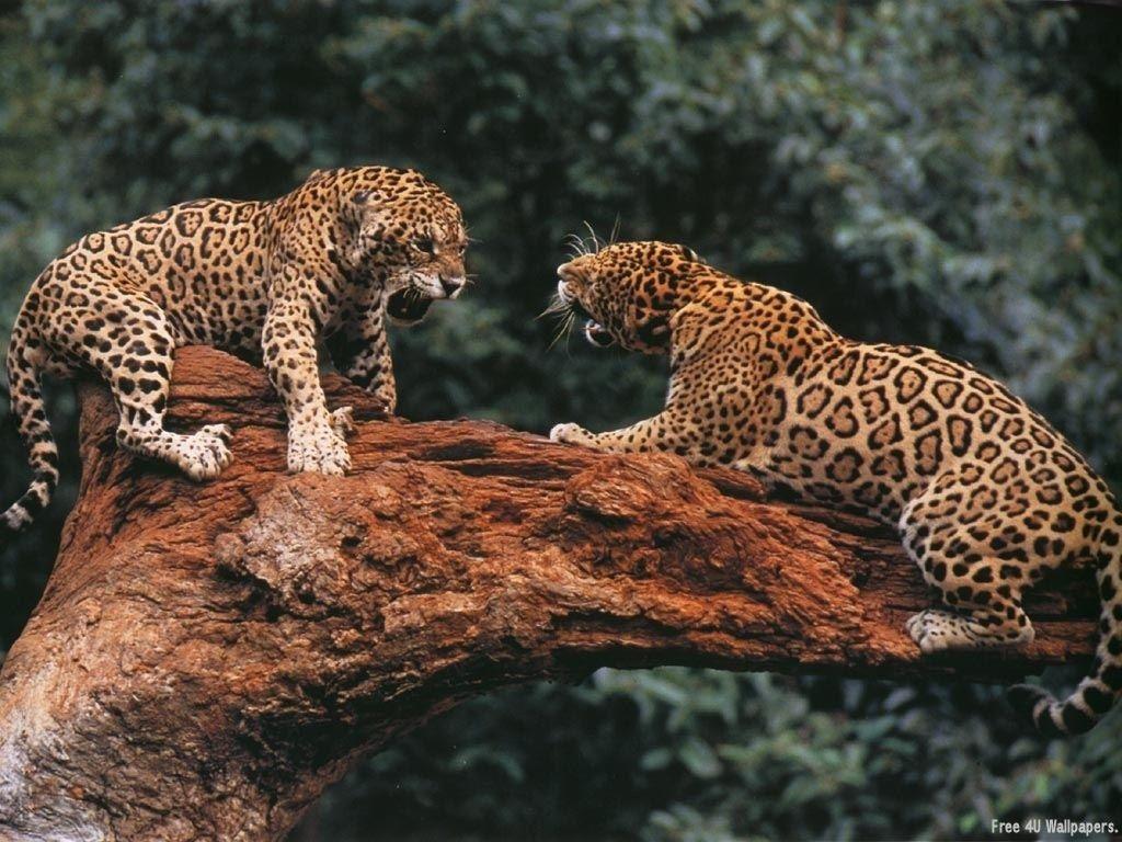 Beautiful Wild Animals...........two leopards Animais