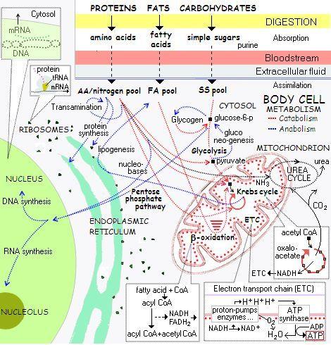 Cellular metabolism - amino acid chart