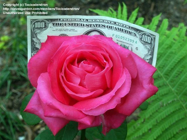 5d296e1dcd85e5 miss all american beauty rose | roses | Hybrid tea roses, Flowers, Rose