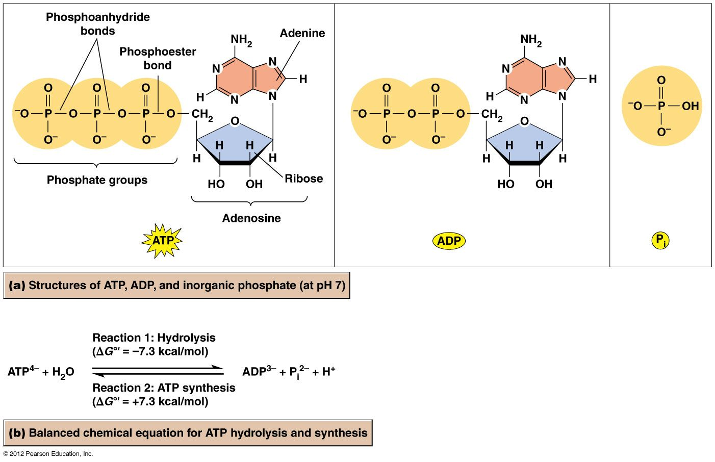 Image Result For Why Is Hydrolysis Of Atp Exergonic