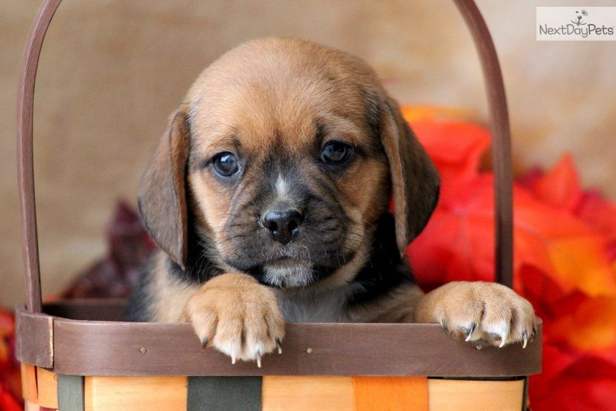 Puggle Puppies For Sale Presley A Cute Puggle Puppy For Sale