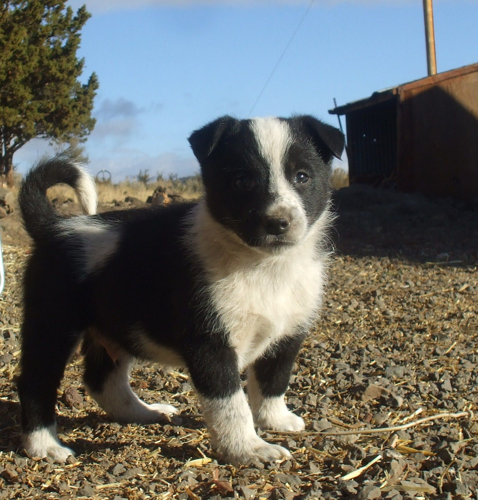 Border Collie X Blue Heeler Puppy Australian Cattle Dogs Rule 10
