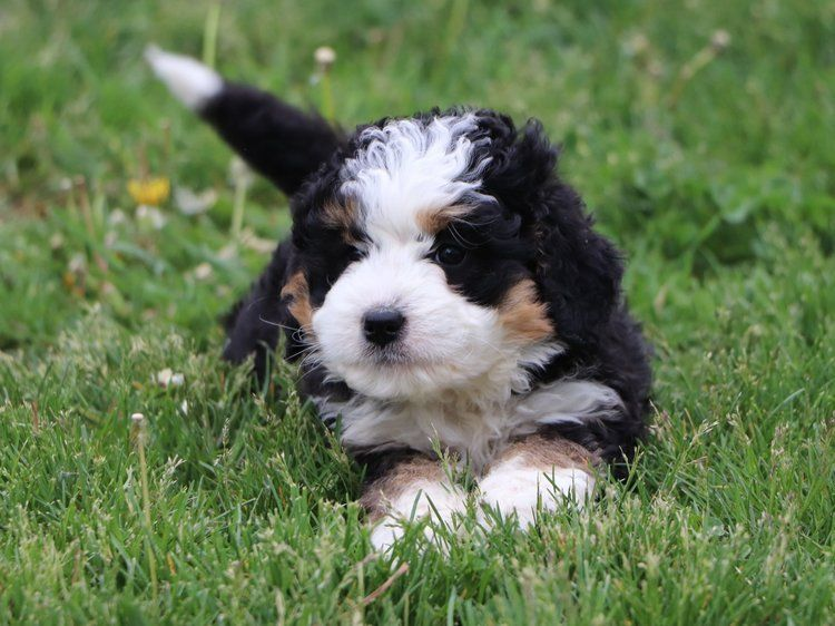 Bernedoodle And Mini Bernedoodles For Sale In 2020 Bernedoodle Bernedoodle Puppy Mini Bernedoodle