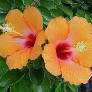 The Hibiscus Cherie Hibiscus Rosa Sinensis Cherie Displays A Profusion Of Large Showy Orange Single Flowers With A Mar Hibiscus Plant Hibiscus Rosa Sinensis Hibiscus Flowers